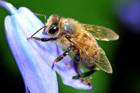 Honey bee on a bluebell
